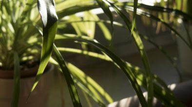 Péče o stálezelené rostliny